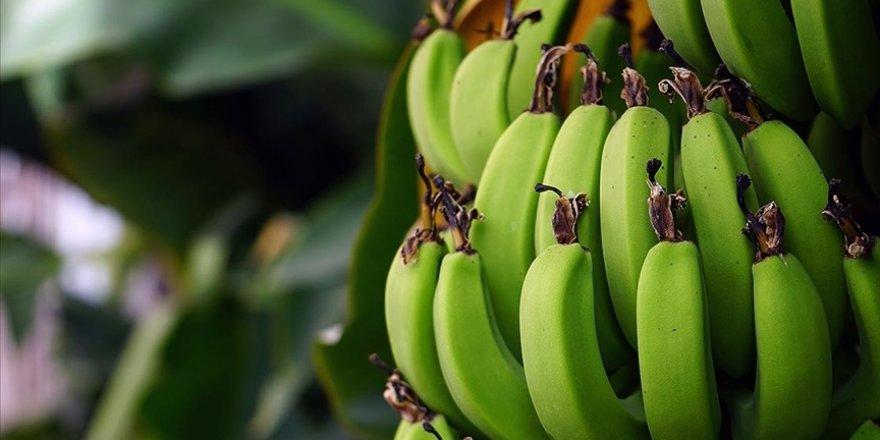 Ar-Ge çalışmalarıyla yerli muzda üretim de tüketim de artıyor
