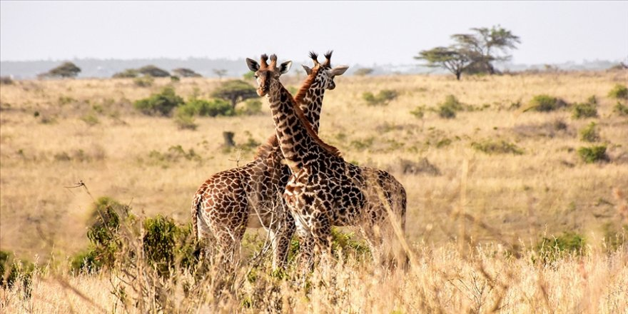 Kenya, yabani hayvanları tek tek saymaya başladı