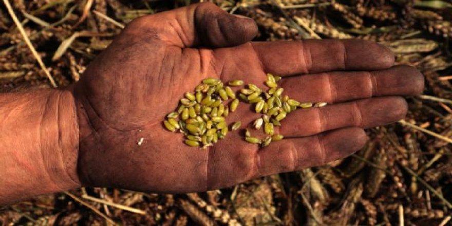 Hatay'da yeşil buğday hasadı