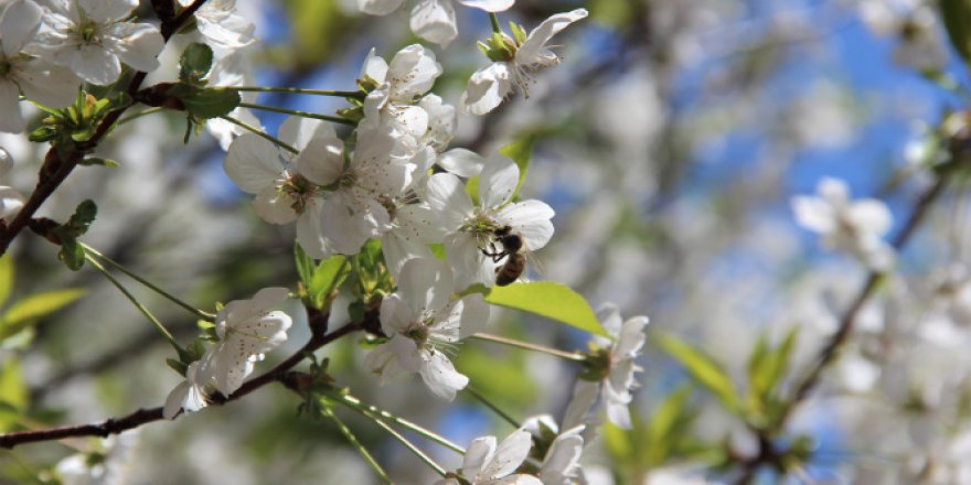 Çiçek açan vişne ağaçları görsel ziyafet sundu