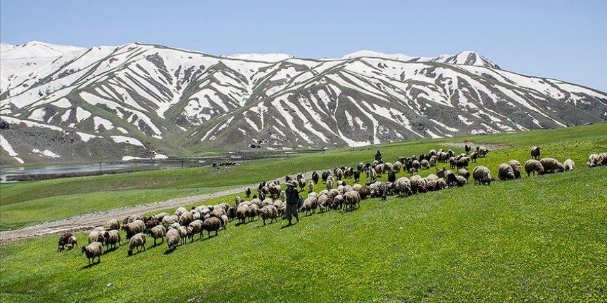 Şırnak'ın Faraşin Yaylası'nda yeşil örtü ve karlı dağlarla iki mevsim bir arada
