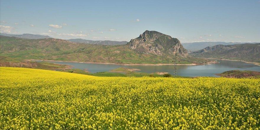 Giresun'da tarlalarda açan sarı çiçekler görsel şölen oluşturdu