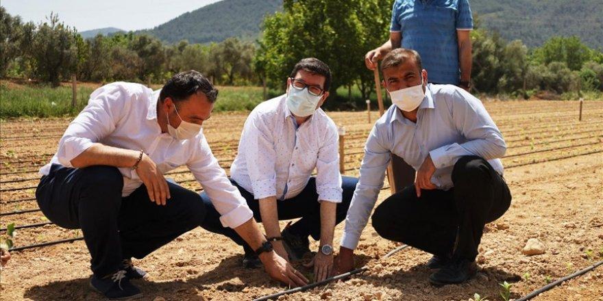 Ata tohumları Güney Ege'nin verimli topraklarında yeşerecek