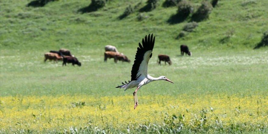 Muş Ovası baharın gelmesiyle göç eden leylekleri ağırlamaya başladı