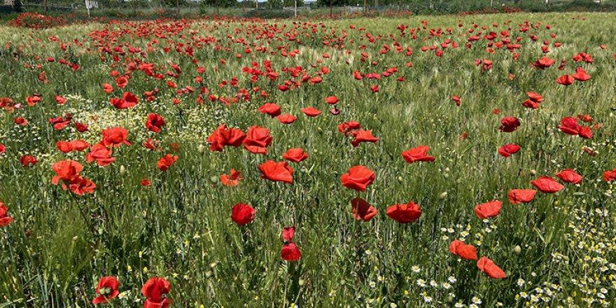 Edirne'de papatyaların sardığı gelincik tarlaları efsunlu güzellikleriyle ilgi görüyor