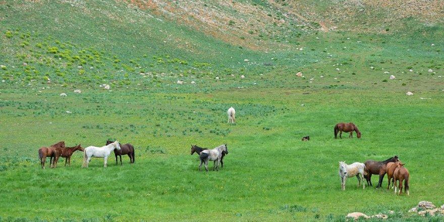 Mercan ve Munzur dağlarındaki atlar doğa tutkunlarının ilgisini çekiyor
