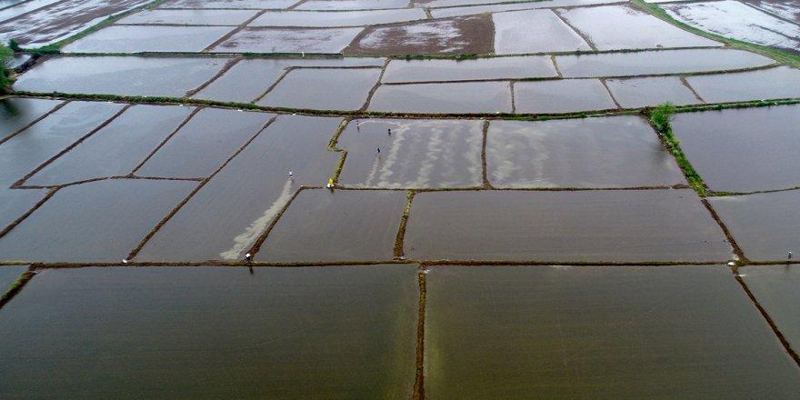 Konuralp pirincinin tarladan sofraya uzanan yolculuğu başladı