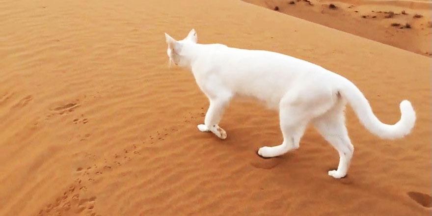 Kedilerin yürüyüşündeki ahenk