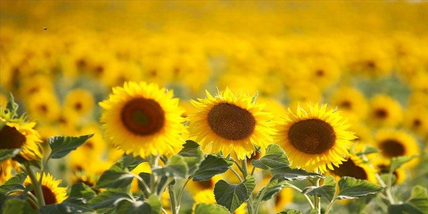 Ayçiçeği tohumundan 30 Haziran'dan sonra da gümrük vergisi alınmayacak