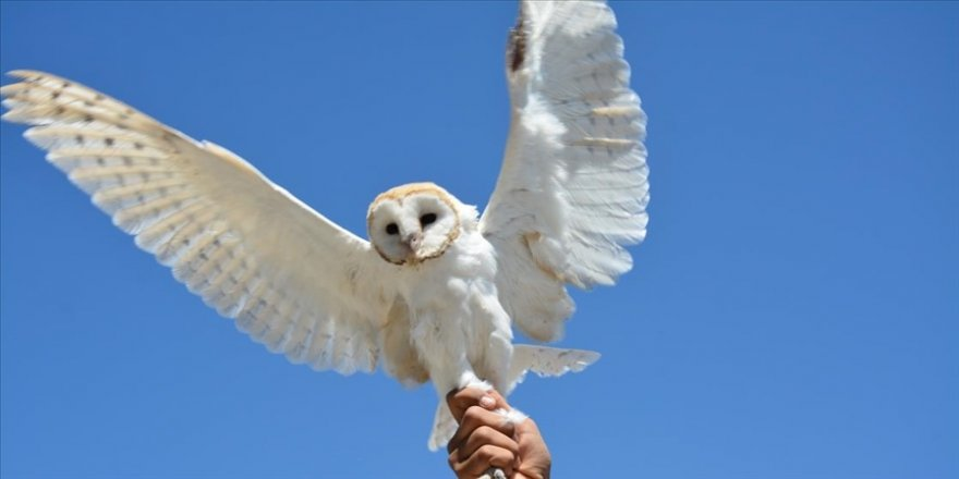 Şanlıurfa'da yaralı bulunan peçeli baykuş korumaya alındı