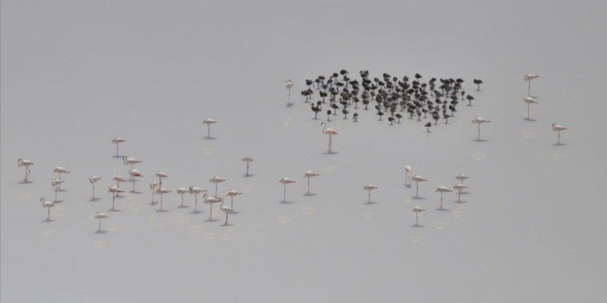 Tuz Gölü'nün misafir flamingoları ilk kez yavruları ve yumurtalarıyla görüntülendi