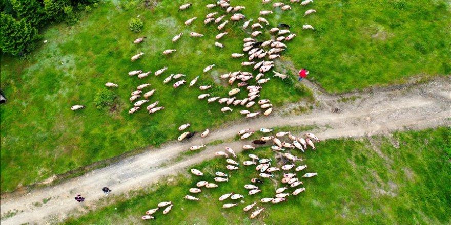 Yaylacıların göç yolculuğunda hayvanlar boyandı, süslendi