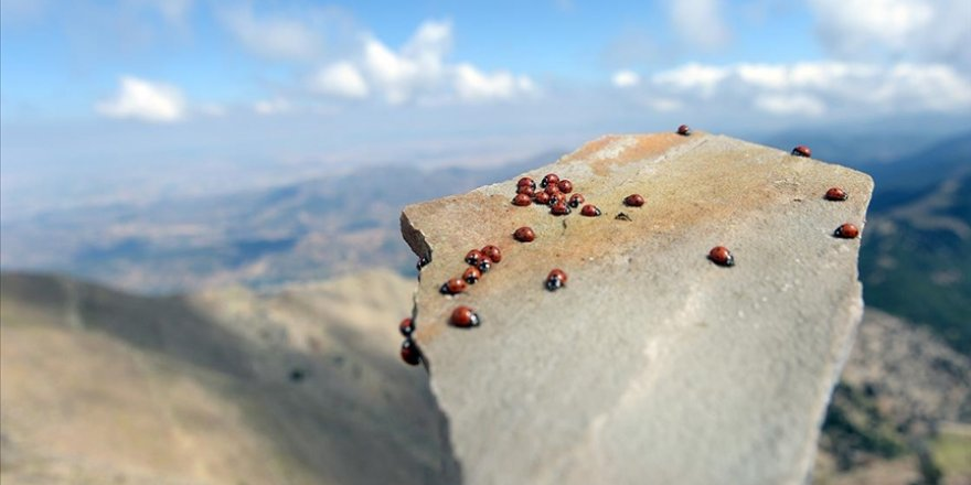 Uludaz Tepesi ağırladığı uğur böcekleri ile doğaseverlerin ilgisini çekiyor