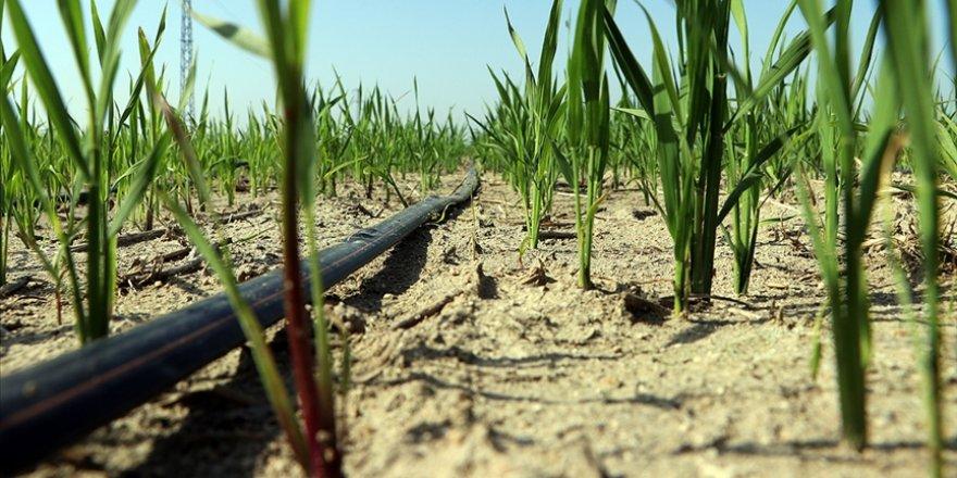 Damla sulama sistemiyle çeltik üretiminde yüzde 60 su tasarrufu sağlanması hedefleniyor
