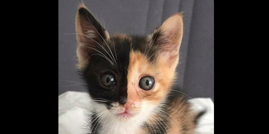 Türkiye'nin ilk çift yüzlü kedisi