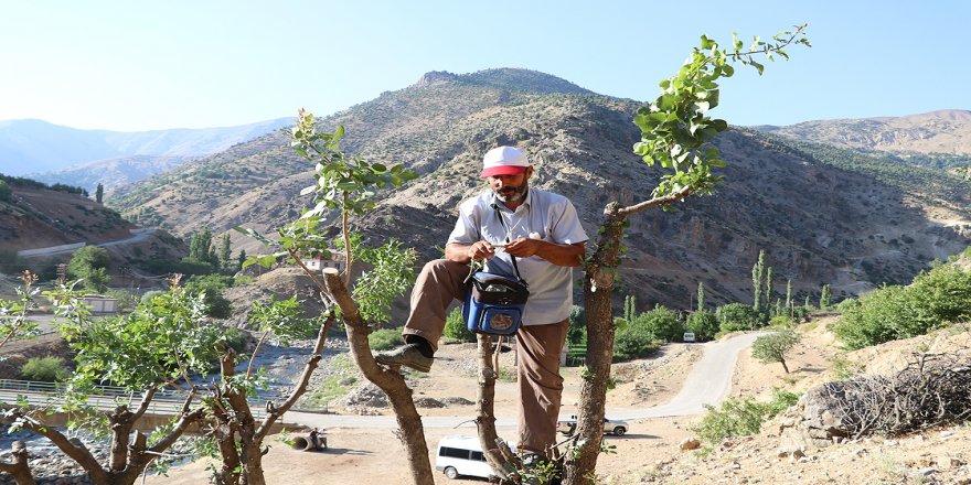 Dağlardaki yabani ağaçlara fıstık aşılayıp aile bütçelerine katkı sağlıyorlar