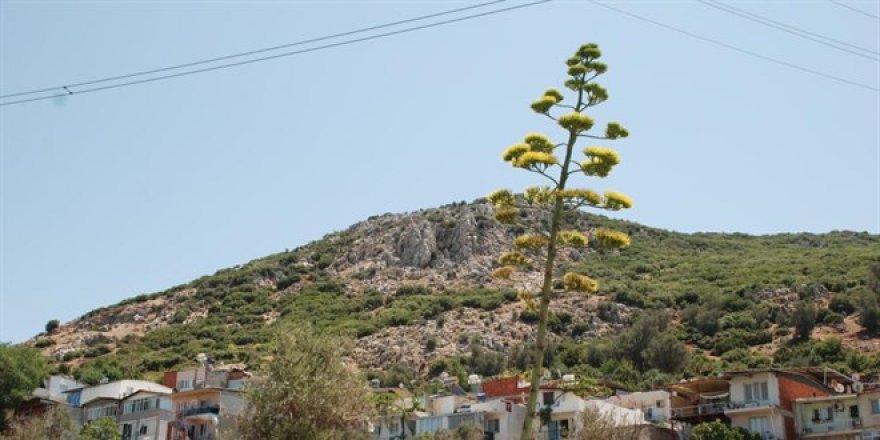 100 yılda bir çiçek açan sabır otu İzmir'de çiçeklendi