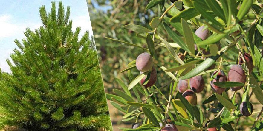 Yangından sonra karaçam mı zeytin ağacı mı dikilmeli?