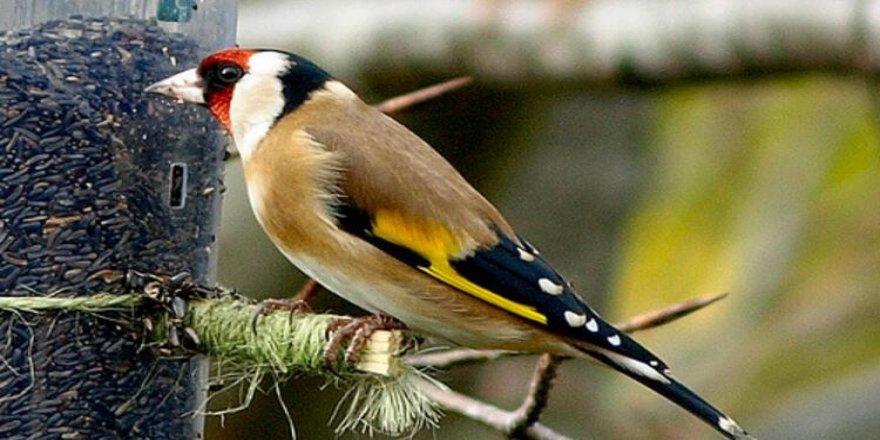 Saka kuşu satışına 120 bin lira ceza