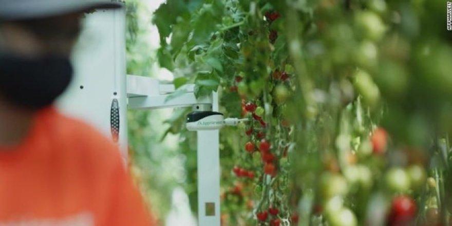 Bu serada domatesleri yapay zeka topluyor: Su tüketimi yüzde 90 azaldı, verim 30 kat arttı