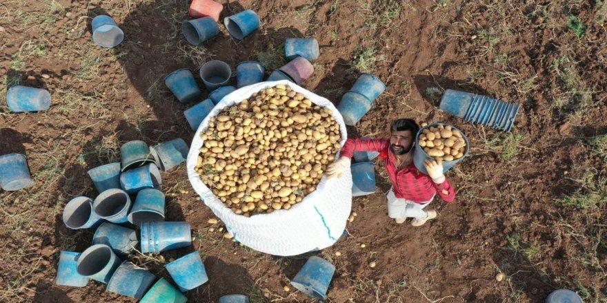Yüzde 80'i yerli tohumlardan üretiliyor! Verimiyle üreticisini sevindirdi
