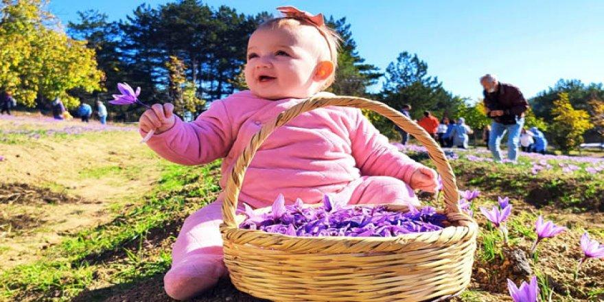 Safranbolu'da 5'incisi düzenlenen festivalde safran hasadı