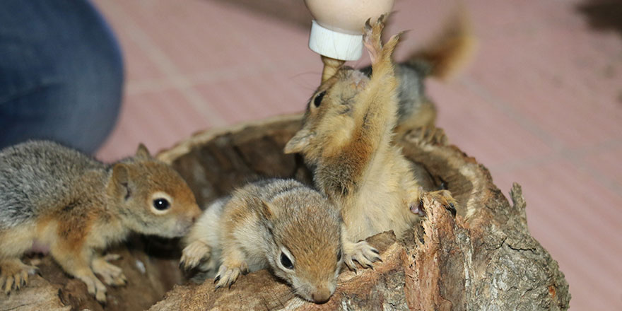 Kesilen ağacın kovuğunda bulduğu 4 sincap yavrusunu biberonla besliyor