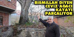 Bismillah diyen ceviz ağacı kayayı parçalıyor