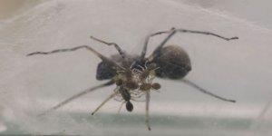 Yavrularını sütle besleyen yeni örümcek türü bilim dünyasını şaşırttı