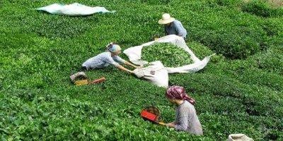 Türkiye'de üretilen çay 103 ülkeye satılıyor