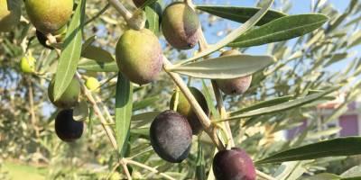 Zeytin yaprağı çayı içen koronavirüse yakalanmadı