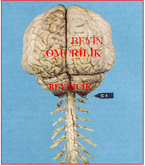beyin.20100430061522.jpg